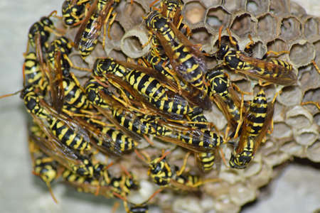reproduction animal: Wasps polist. The nest of a family of wasps which is taken a close-up.