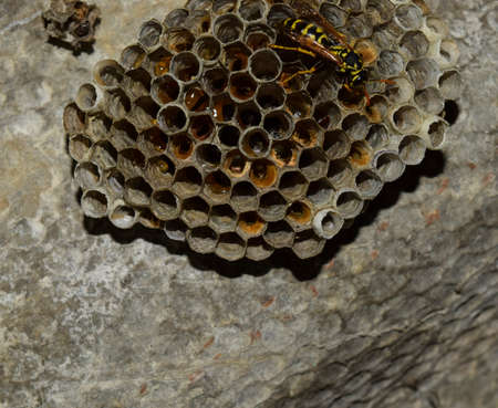 paper wasp: Wasps polist. The nest of a family of wasps which is taken a close-up.