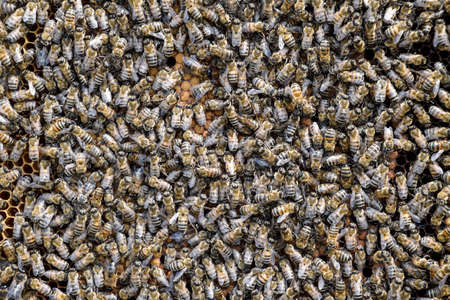 A dense cluster of swarms of bees in the nest. Working bees, drones and uterus in a swarm of bees. Honey bee. Accumulation of insects Stock fotó