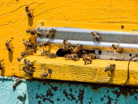 Bijen vliegen naar de ingang van de korf. Lade van de korf. Gatingang naar de korf. Honingbijen op de bijenstal. De technologie die fokt van honingbijen.