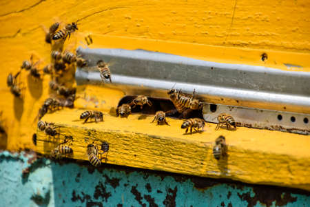 apiculture: Bees fly at the entrance to the hive. Tray of the hive. Hole entrance to the hive. Honey bees on the home apiary. The technology breeding of honey bees.