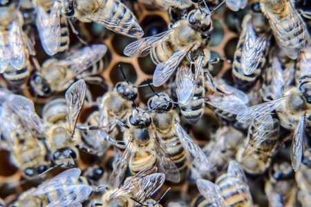 Macro photograph of bees. Dance of the honey bee. Bees in a bee hive on honeycombs. Honey bees on the home apiary. The technology breeding of honey bees.