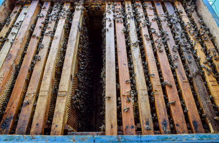 apiculture: Open bee hive. Plank with honeycomb in the hive. The bees crawl along the hive. Honey bee