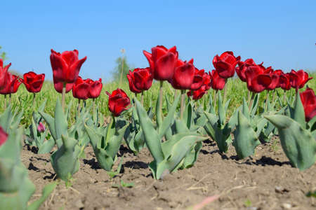 Red flowers of tulips on a flower bed. A flower bed with tulips. Stock Photo
