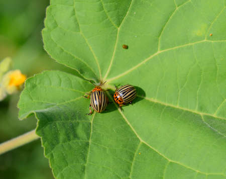 Colorado beetle on a leaf of a plant. Adult striped Colorado beetles.