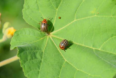 Colorado beetle on a leaf of a plant. Adult striped Colorado beetles.