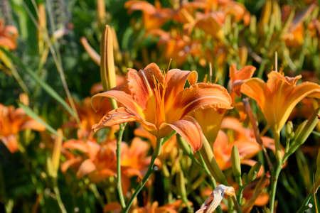 greengrass: Flowers of orange lilies. Lilies among the grass