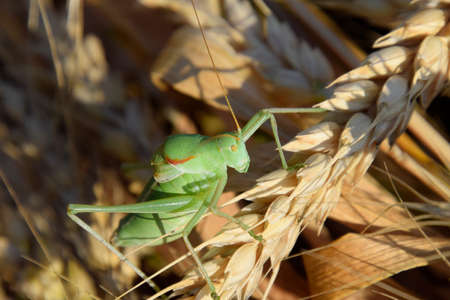 clovers: Isophia. Grasshopper is an isophy on a wheat spikelet. Isophya Stock Photo