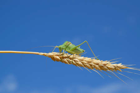 clovers: Isophia. Grasshopper is an isophy on a wheat spikelet. Isophya. Isophya against the blue sky.
