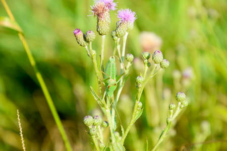 wingless: Isophya on the stems of the tubercle. Wingless grasshopper Isophya.