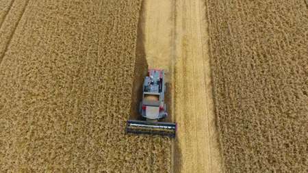 cutting: Harvesting wheat harvester. Agricultural machines harvest grain on the field. Agricultural machinery in operation. Stock Photo