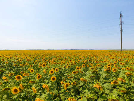 Field of sunflowers. Aerial view of agricultural fields flowering oilseed. Top view. Stock Photo