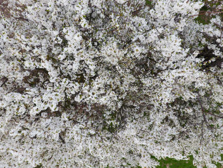 Blooming cherry plum white flowers of plum trees on the branches white flowers of plum trees on the branches of a tree mightylinksfo