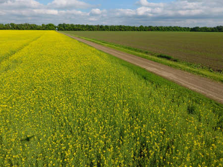 Field of flowering rape. Rape, a syderatic plant with yellow flowers. Field with siderates