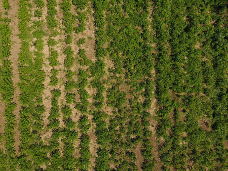 potato field. View from above. Green tops of rows of potatoes Stock Photo