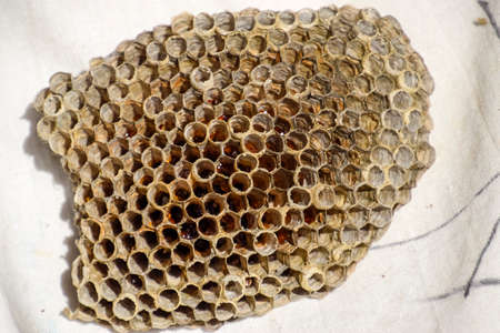 The nest is aspen, polist. The aspen nest at the end of the breeding season. Stocks of honey in honeycombs. Aspen honey. Vespa. Stock Photo
