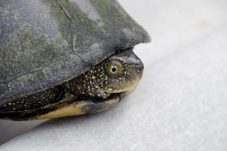 Ordinary river tortoise of temperate latitudes. The tortoise is an ancient reptile