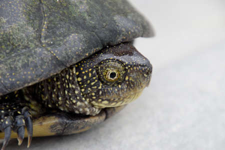 wildanimal: Ordinary river tortoise of temperate latitudes. The tortoise is an ancient reptile