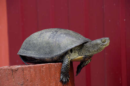 wildanimal: Tortoise on a wooden red stump. Ordinary river tortoise of temperate latitudes. The tortoise is an ancient reptile