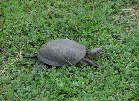 The tortoise crawls along the green grass. Ordinary river tortoise of temperate latitudes. The tortoise is an ancient reptile