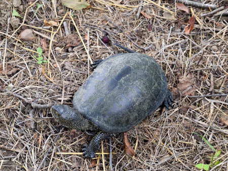 The turtle crawls on dry grass. Ordinary river tortoise of temperate latitudes. The tortoise is an ancient reptile