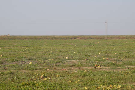 An abandoned field of watermelons and melons. Rotten watermelons. Remains of the harvest of melons. Rotting vegetables on the field Stock Photo
