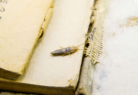 Insect feeding on paper - silverfish. Pest books and newspapers. Stock Photo - 86573781