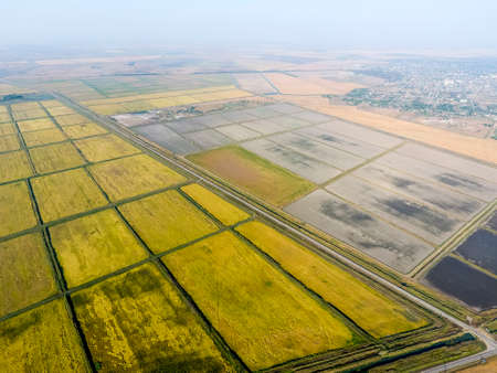 Growing rice on flooded fields. Ripe rice in the field, the beginning of harvesting. A birds-eye view. Flooded rice paddies. Agronomic methods of growing rice in the fields. Flooding the fields with water in which rice sown. Imagens