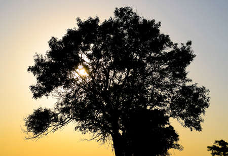 park: Lime tree on a sunset background. Black silhouette of a tree
