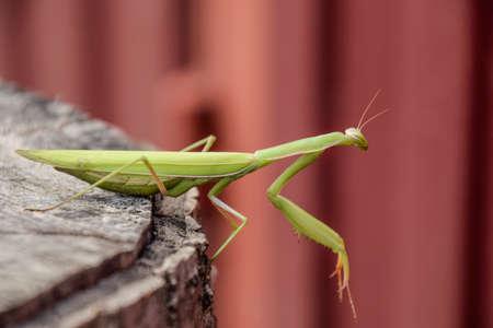 female mantis sits on a tree stump. Insect predator mantis