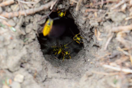 Log into the slot vespula vulgaris. Wormhole leading to the hornets nest in the ground. Jack predatory wasps.