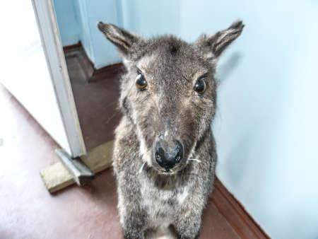 dwelling: Kangaroo in the human dwelling. Animal look.