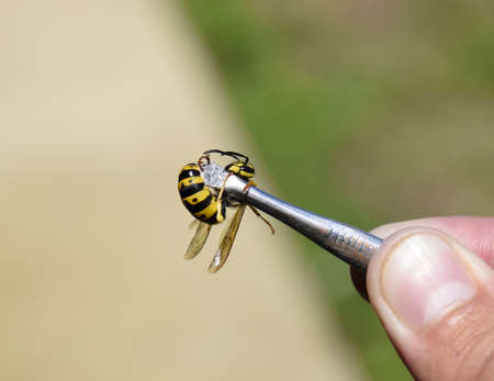 Common wasp on tweezers. Caught a wasp Stock Photo
