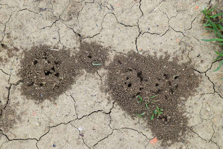 Mounds of earth over the entrance to the nest excavation wasps. Colonia earthen wasps.