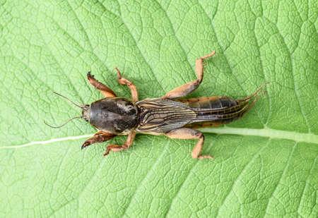 Gryllotalpa gryllotalpa On a piece of grass. Pest of garden plantations Reklamní fotografie