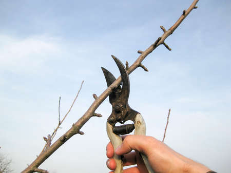 Pruning shears trees. Work in the garden of. Cutting branches, restoring order. Caring for the trees in the garden.