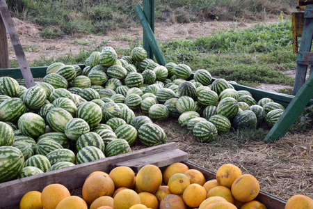 Collected in a pile of melons and watermelons. Rich harvest of watermelons and dyt in a heap at the point of sale directly at the field. Stock Photo