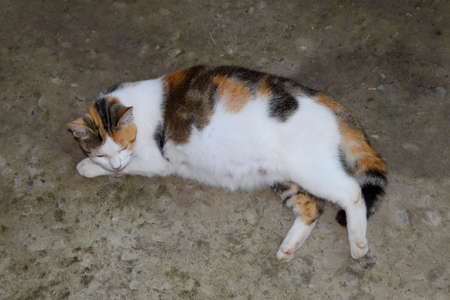 Pregnant cat resting. Calico cat with a big belly lying on the concrete. Stock Photo - 88242950