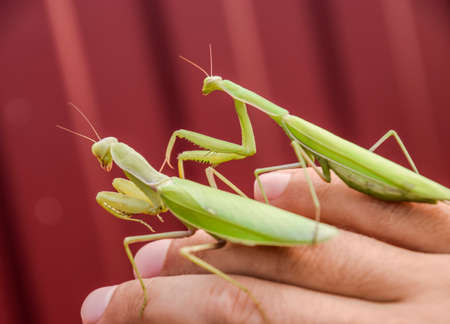 mantid: female and the mantis are sitting on the palm of a man. Insect predator mantis