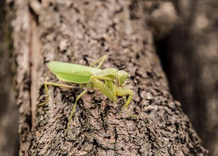 Mantis on a log acacia. Mantis looking at the camera. Mantis insect predator.
