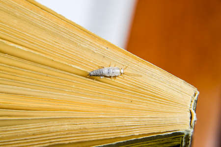 Insektenfütterung auf Papier - Silberfischchen. Pest Bücher und Zeitungen. Silberfisch am Ende des Buches. Standard-Bild - 89642535