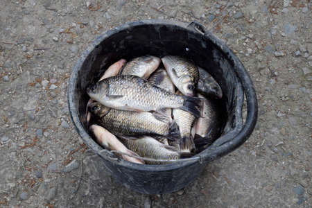River fish in a plastic bucket. Fish catch. Carp and carp. Weed fish