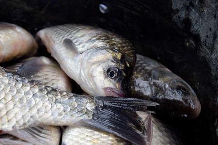 River fish macro photo. Fish catch. Carp and carp. Weed fish Banque d'images
