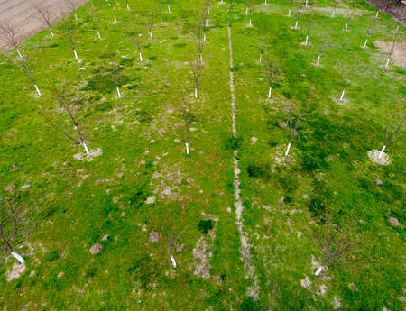 Planned cherry orchard. Young trees of sweet cherry. Lawn in the garden of the sweet cherry