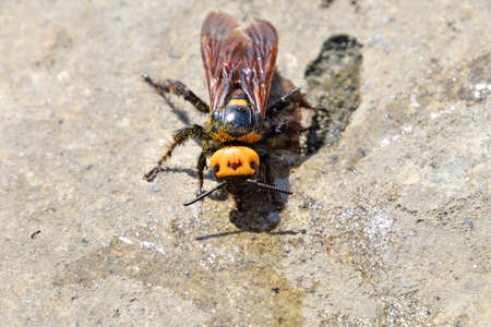 Megascolia maculata. The mammoth wasp. Wasp Scola - giant concrete to drink water from a puddle. Stock Photo