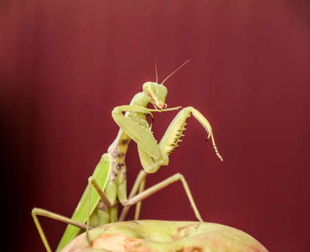 Mantis on a red background. Mating mantises. Mantis insect predator