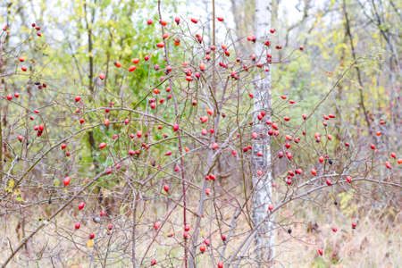 Hips bush with ripe berries. Berries of a dogrose on a bush. Fruits of wild roses. Thorny dogrose. Red rose hips