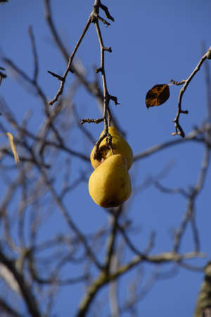 Two fruits of a pear hang on a branch. November fruit.