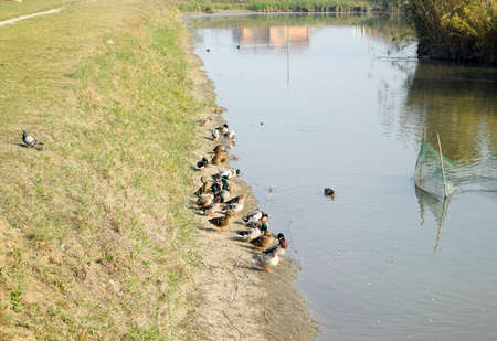 Gray ducks on the shore of the pond. Ducks with pigeons. Ducks swimming in the pond. Wild mallard duck. Drakes and females.