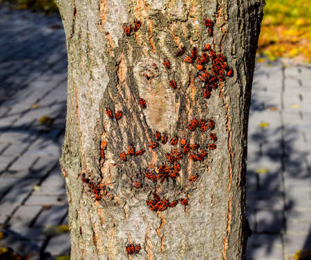 Red bugs bask in the sun on tree bark. Autumn warm-soldiers for beetles.